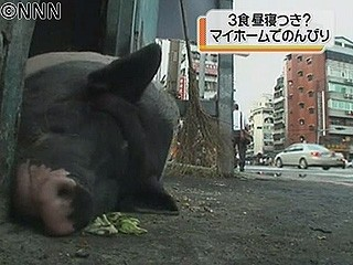 「野良豚」のお気楽生活