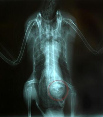 マガモの腹部X線写真に